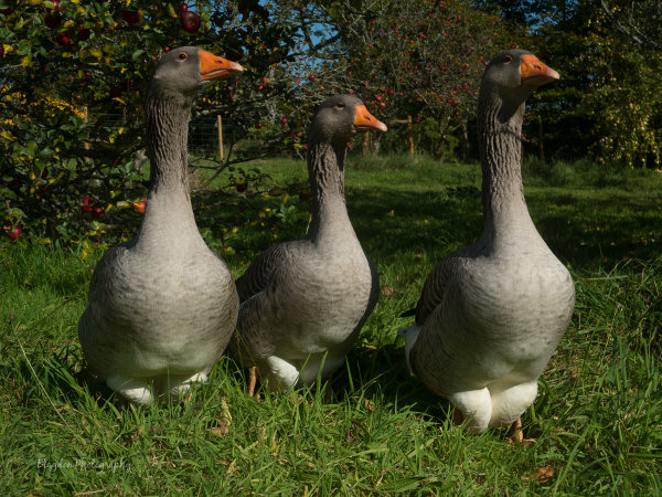 Rare breed Toulouse Geese at Blagdon Farm